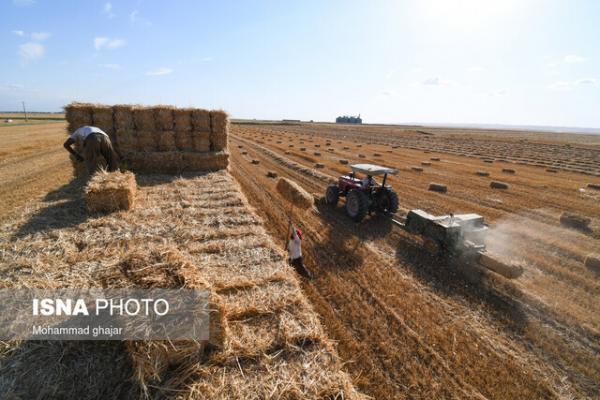خرید 720 هزار تن گندم از کشاورزان خوزستان